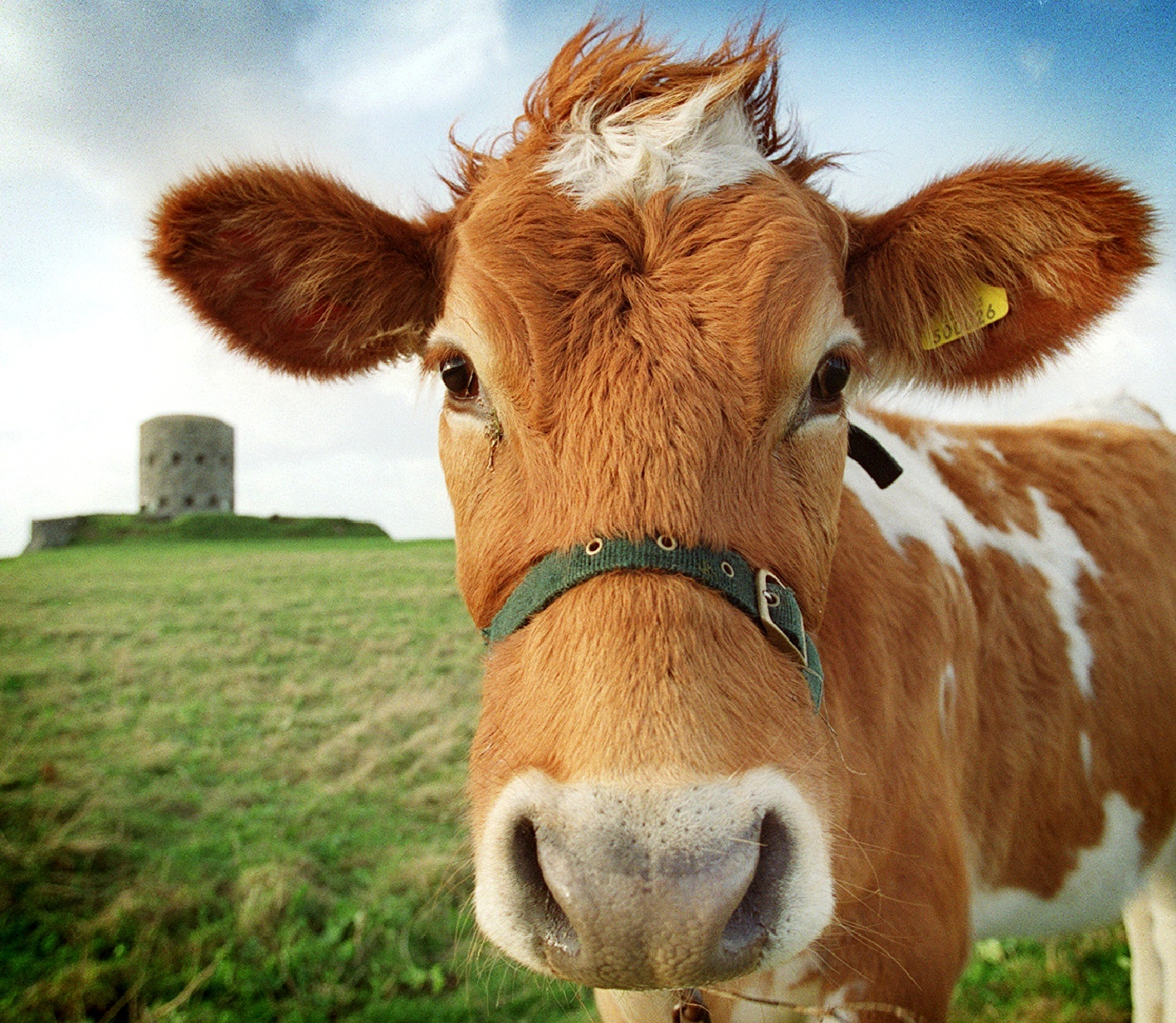 Whats the latin name for Guernsey cattle?